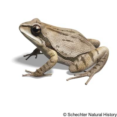 cajun chorus frog
