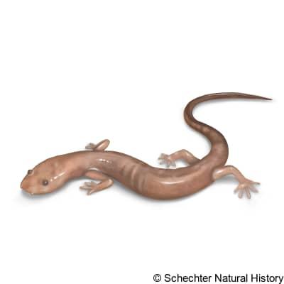 grotto salamander