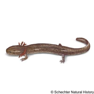 jollyville plateau salamander