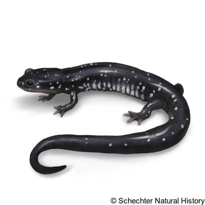 mississippi slimy salamander