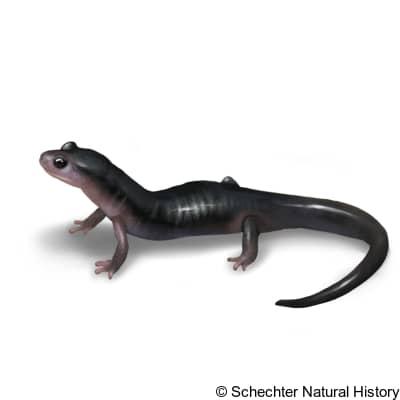 northern gray-cheeked salamander