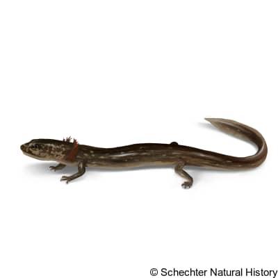 valdina farms salamander