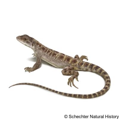 cope's leopard lizard