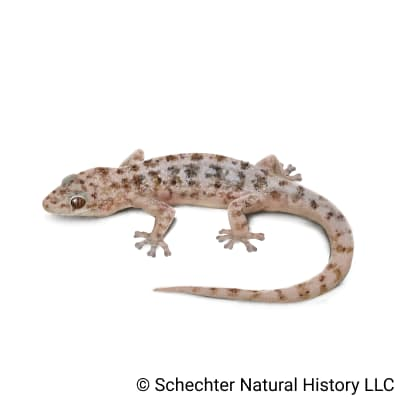 Peninsular Leaf-toed Gecko