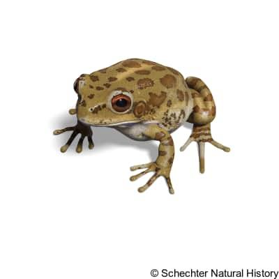 Lowland Burrowing Tree Frog