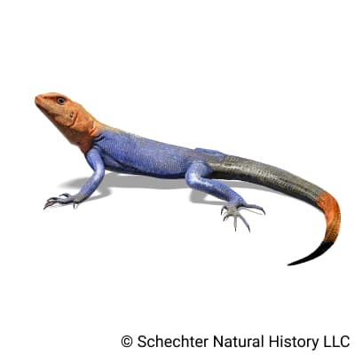 Peters's Rock Agama