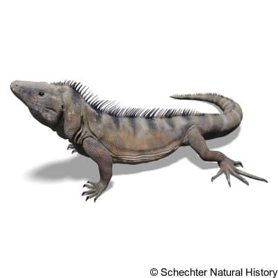 Western Spiny-tailed Iguana
