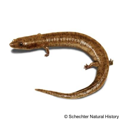 tennessee cave salamander