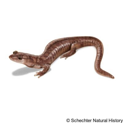 berry cave salamander
