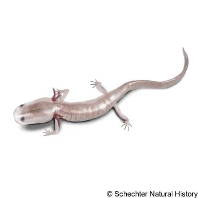 georgia blind salamander