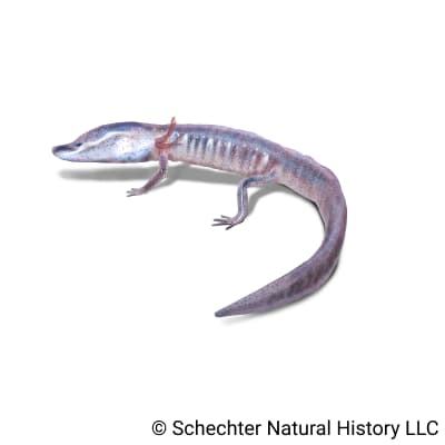 austin blind salamander