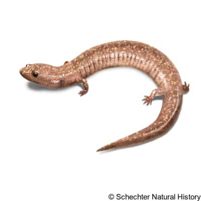 West Virginia Spring Salamander