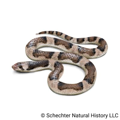Saddled Leafnose Snake
