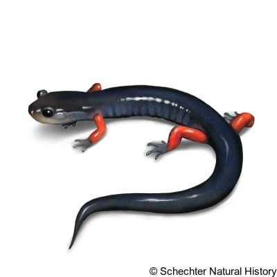 red-legged salamander
