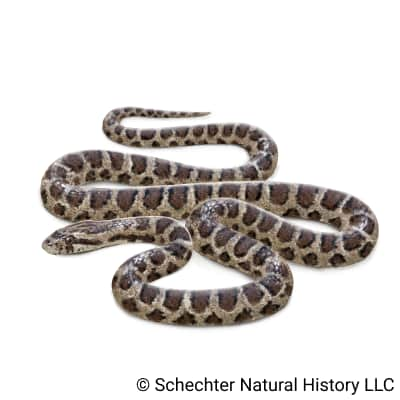 great plains ratsnake
