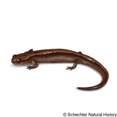 western dwarf salamander