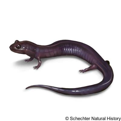 Red Hills Salamander