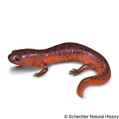 mud salamander