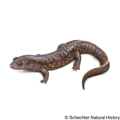 santeetlah dusky salamander
