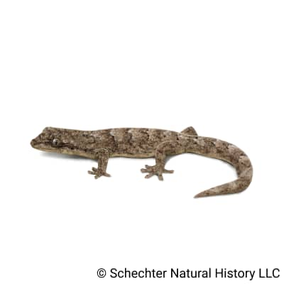 mourning gecko