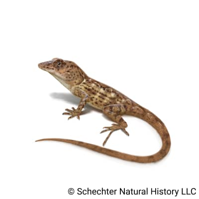 Hispaniolan Stout Anole