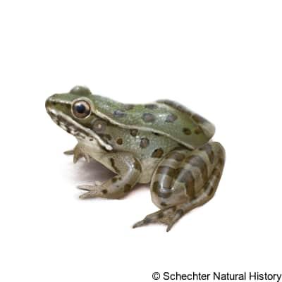 Atlantic Coast Leopard Frog