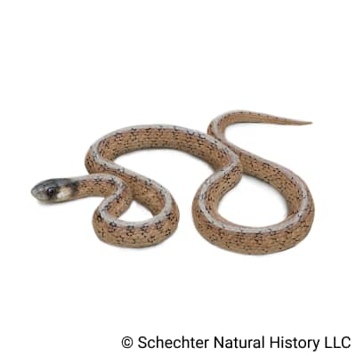 florida brownsnake