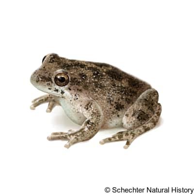 California tree frog