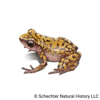 cliff chirping frog