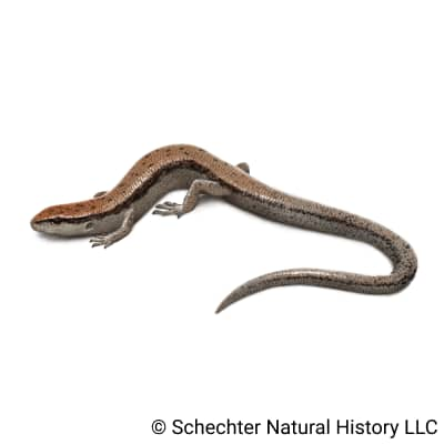 little brown skink
