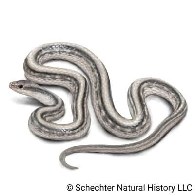 western patch-nosed snake